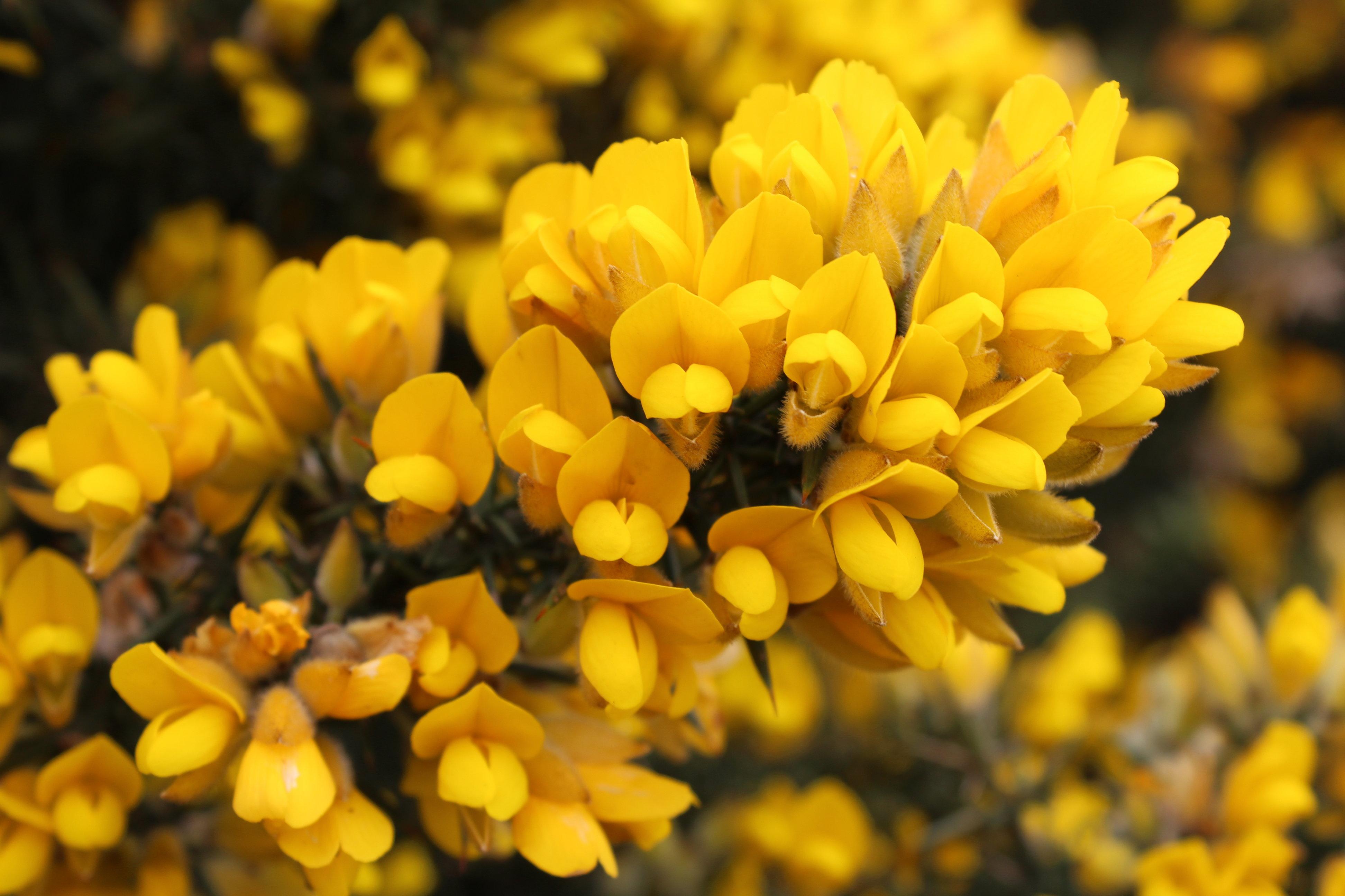 Ulex_europaeus_flowers